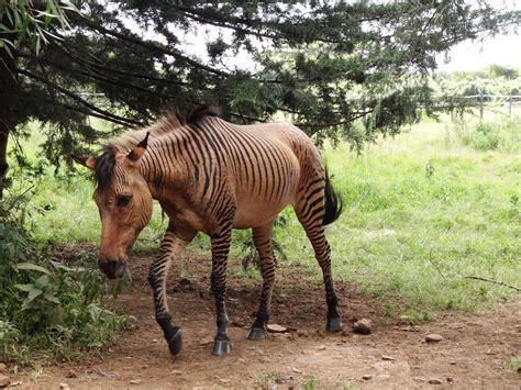 hybrid zebra animales africa horse hibridos los diaries cross between mas sorprendentes