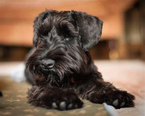 breeders  pedigree breed info miniature schnauzer