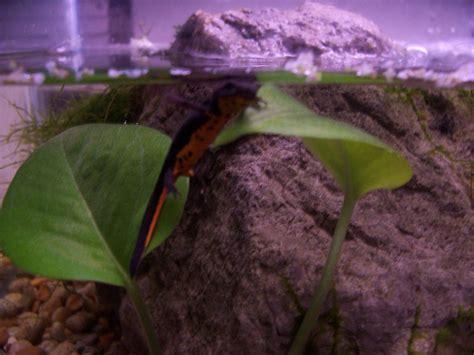 caudata kb salamander giant eat chinese tiger