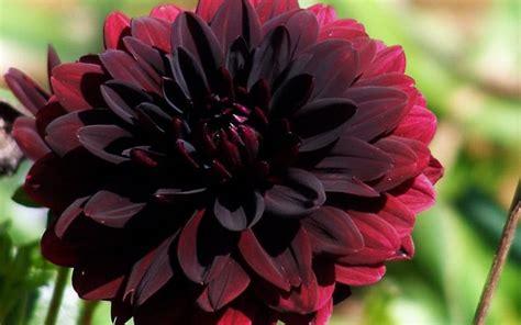 Star David Tattoos black plants  flowers  chelsea flower show 700 x 438 · jpeg