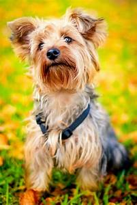 best dog food for yorkies how to feed yorkshire terrier With best wet dog food for yorkies