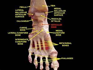 File:Slide5ecce - Navicular bone.png