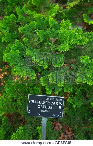 cha garden sf hinoki cypress chamaecyparis obtusa nana gracilis and