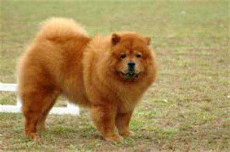 wire fox terrier shedding chow chow breed information pictures chow
