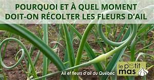 Cultiver De L Ail : quand planter l ail ~ Melissatoandfro.com Idées de Décoration
