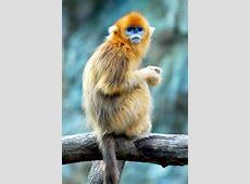 Golden SnubNosed Monkey The Parody Wiki FANDOM