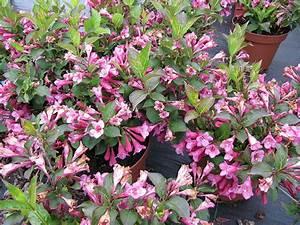 Weigela Bristol Ruby : weigela 39 bristol ruby 39 leonora ellie enking flickr ~ Michelbontemps.com Haus und Dekorationen