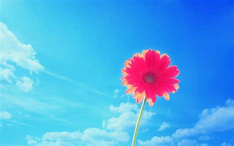 Pink Gerbera Flower Widescreen 4k Wallpaper