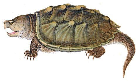 Snapping Turtle PNG Transparent Images | PNG All