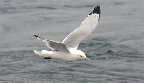 Fall And Winter Seabird Abundance  Gulf Watch Alaska