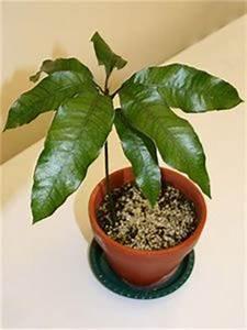 Planter Noyau Mangue : germination dun noyau de datte nature pinterest ~ Melissatoandfro.com Idées de Décoration
