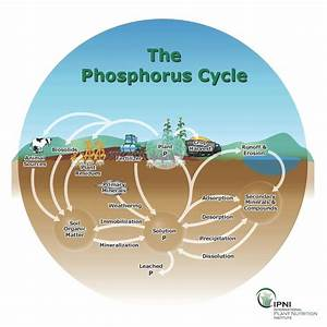 Phosphorus   Cooperative Extension