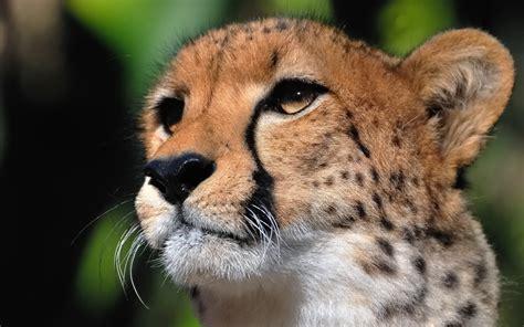 cheetah face hd desktop wallpapers  hd