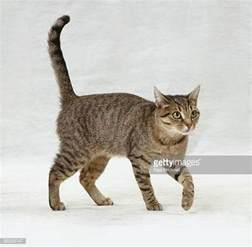 walking a cat cat walking on white stock photos and pictures getty images