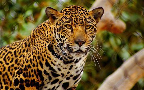 jaguar hd  imagenes wallpapers gratis