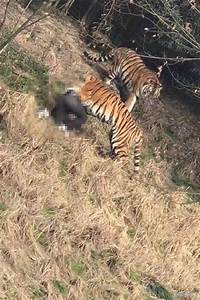 Man Mauled and Killed by Tiger at Eastern China Resort
