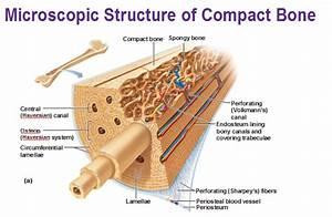 Cartilage   Inside Of Bones