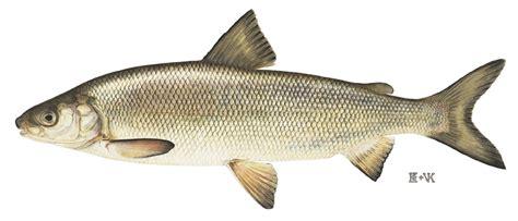 coregoninae wikipedia