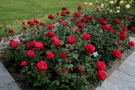 tips   menanam bunga mawar  tepat bibit