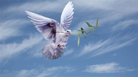 white dove   olive branchsymbol  peace hd