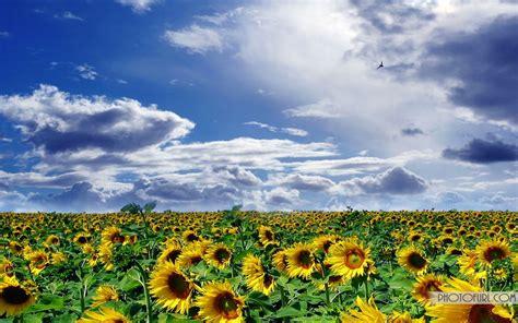 sunflower wallpaper  desktop background  wallpapers