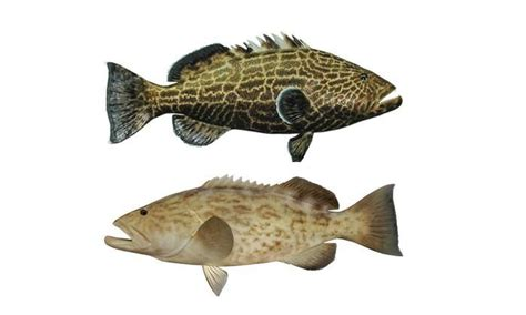 gulf grouper mexico gag regs modified inthebite noaa announces modifications recreational fisheries measures management blk