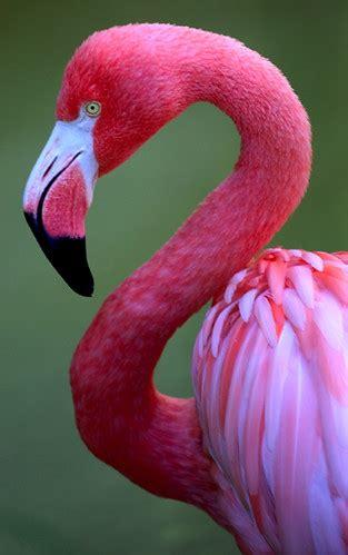 pink flamingo pink flamingo san diego zoo california