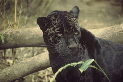 Black Jaguar black leopard pics