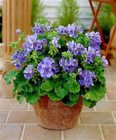 25 best ideas about perennial geranium on cranesbill geranium blue geranium and