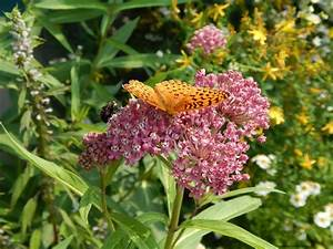 MONARCHS AND MILKWEED Creating A Landscape In Maine To