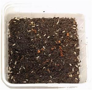 Weiße Kürbisse Kaufen : kaufen bestellen ameisen ameisenfarm wei e asseln trichorhina tomentosa ~ Markanthonyermac.com Haus und Dekorationen