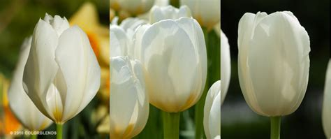 tulip bulbs item 1513 white cubed for sale