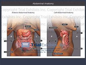 Abdominal Anatomy Female