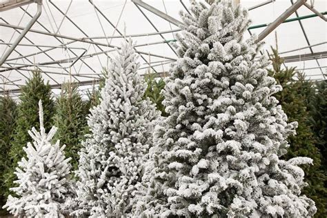 brighten the holidays with festive plants from pike nurseries lifestyle mdjonline - Pike Nursery Christmas Trees