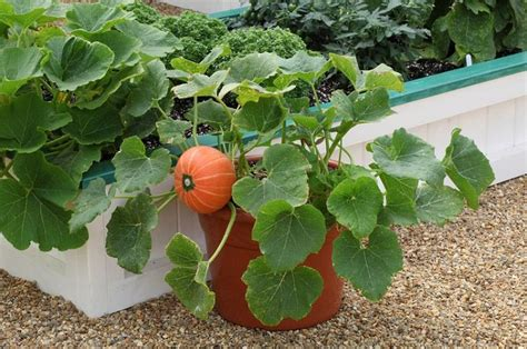 in a pot growing pumpkins in containers how to grow pumpkins in pots balcony garden web