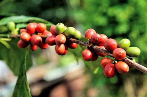 I lvled to 100 only doing pure xoph's Free Images : tree, nature, branch, coffee, growth, farm, fruit, berry, leaf, flower, roast ...