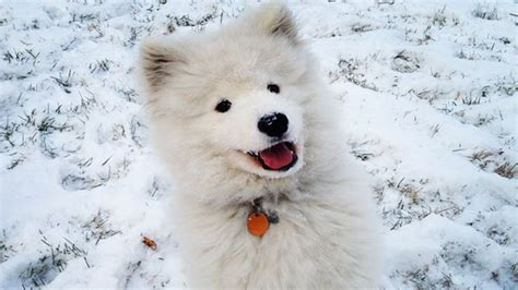 17 Best Images About Samoyed On Pinterest Cold Weather