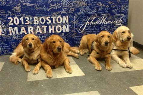 golden comfort why there will be golden retrievers at today s boston marathon