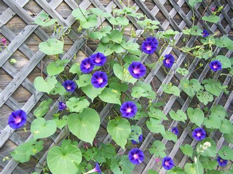 Climbing Plants That Produce Fragrant Flowers