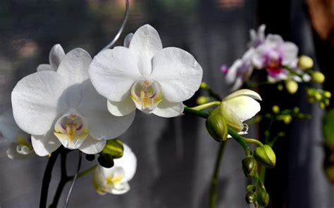 budidaya tanaman hias bunga anggrek bulan tanaman hias