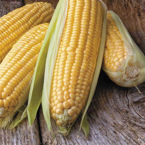 corn seeds honey select triplesweet hybrid corn seeds from park seed