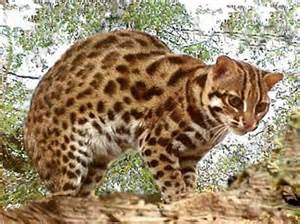 leopard cat visayan leopard cat tigers and other cats