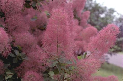 smoke tree online plant guide cotinus species purple smoke tree