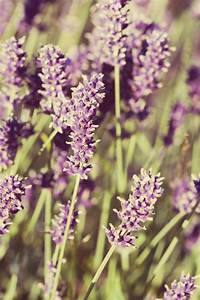 Lavender Flowers Vintage Look Free Stock Photo - Public ...