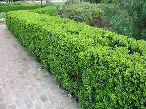 Online Plant Guide - Buxus sinica var. insularis ...