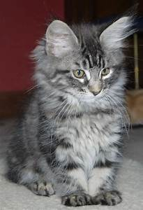 Classic Tabby Maine Coon Kittens for Sale | Glasgow ...