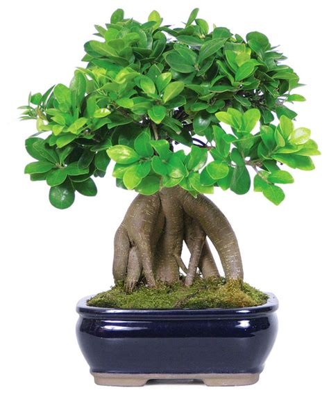 ginseng grafted ficus bonsai tree asian plants