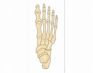 Right Foot  Superior View