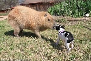 Gary the capybara sniffs the dog | Great Animals | Pinterest