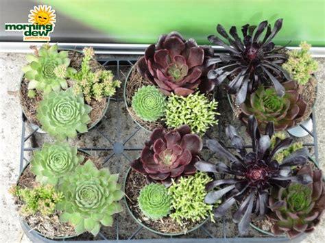 succulent dish garden dish garden morning dew tropical plants
